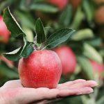 Яблоко от яблони недалеко падает: Смысл пословицы, значение